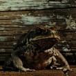 Cane Toads: The Conquest Resimleri