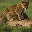 The Last Lions Resimleri