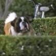 Afacan Köpek Beethoven 3 Resimleri